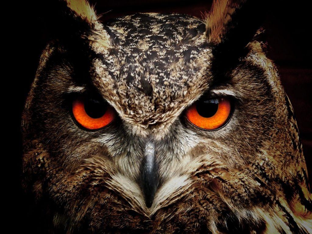 An owl as a pet!